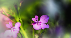 tiny shadow of Spring (frederic.gombert) Tags: pink flowers light sun sunlight plant flower color macro green colors garden purple bokeh