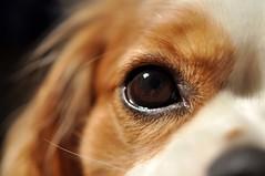MM Puppy Pupil (FlorDeOro) Tags: dog eye animal puppy nikon dof nikkor pupil d90 macromondays mijarajc beginswiththeletterp