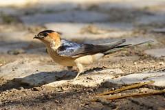 Red-rumped Swallow - Hirundo daurica (Roger Wasley) Tags: portugal birds europe european castromarim hirundodaurica redrompedswallow