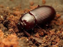 The other Uloma, I think (treegrow) Tags: washingtondc rockcreekpark lifeonearth nature canonpowershotsx40hs raynoxdcr250 arthropoda insect coleoptera beetle tenebrionidae ulomaimpressa