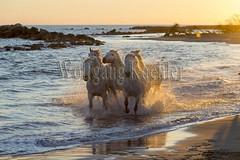 40081132 (wolfgangkaehler) Tags: sunset horse white france beach water french europe mediterranean european running backlit splash herd mediterraneansea backlighting eveninglight camargue southernfrance splashing galloping 2016 whitehorses camarguehorses
