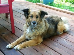 Hannah (Just Back) Tags: love feet sc face weather animal fur relax spring mutt eyes furry collie legs affection shepherd air faith columbia deck jaws rest shaggy alive sweetheart paws attention companion snout faithful canis