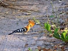 Hoopoe, Fathala Reserve, Senegal (**Anik Messier**) Tags: africa bird nature animals reserve safari senegal animaux hoopoe afrique wildness rserve snral