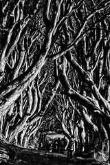 Those Hedges (Paul T McDowell Photography) Tags: uk ireland blackandwhite bw monochrome canon season landscape photography spring unitedkingdom northernireland 2016 coantrim gameofthrones darkhedges canon70200f28isusm canon5dmarkii paultmcdowellphotography