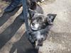 Just a pomchi (Oli Clearwater Pics) Tags: dog olympus pomchi