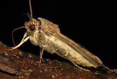 bug of the day (urtica) Tags: usa night insect ma massachusetts moth bugoftheday lepidoptera noctuidae carver carverma agrotis ipsilondart agrotisipsilon mylesstandishstateforest