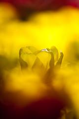 Hitachi Seaside Park 2016 #3 (kobaken++) Tags: park flower nature field japan canon lens eos seaside bright bokeh  5d  depth hitachi ibaraki markii   mark2    hitachinaka          kobaken