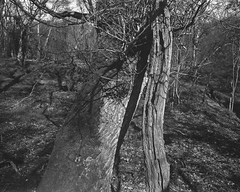 Tree with broken branch caught in light and shadow (Hyons Wood) (Jonathan Carr) Tags: shadow bw white abstract black tree monochrome rural landscape branch decay large 4x5 format abstraction rotten northeast 5x4 hyonswood