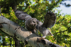 GG44 (Sam Parks Photography) Tags: trees wild summer usa baby bird nature animal forest rockies rodent spring wings woods nest feeding nps wildlife unitedstatesofamerica ghost feathers young meadow aves raptor northamerica rockymountains prey feed wyoming greatgrayowl phantom predator juvenile carnivorous exchange naturalworld jacksonhole avian fledgling offspring tetonrange parkservice strigiformes grandtetonnationalpark predatory aspentree strixnebulosa predation gye nestling mountainous owlet carnivora strigidae gtnp fledge greateryellowstoneecosystem aspenstand horizontalorientation carniore