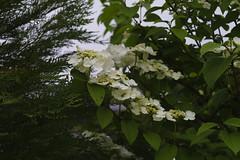 _DSC2020 (Osamu1965) Tags: flower japan zeiss garden spring sony contax jp   okayama     a7m2  carlzeissvariosonnart2870mmf3545mm