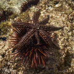 Seven-armed sea star and red-tipped sea urchin (NettyA) Tags: australia nsw lowtide day5 unescoworldheritage seacreatures seaurchin rockpools lordhoweisland 2016 lhi reefwalk rockplatform nedsbeach heliocidaristuberculata lordhoweforclimate astrostolerodolphi redtippedseaurchin sevenarmedseastar