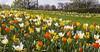 Frühlingserwachen (Helmut44) Tags: flower nature germany landscape deutschland colorful blossom flowerbed magdeburg blume blüte frühling tulpe narzisse hyazinthe blumenbeet sachsenanhalt elbauenpark blütenträume farbenfreudig