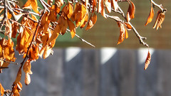 Brown Leaves (Theen ...) Tags: shadow brown sunlight tree brick leaves wall triangles fence garden dead lumix healthy iron branch cream suburbia diagonal adelaide withered corrugated theen
