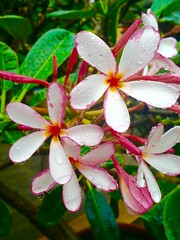 Rainproof (ape_regina) Tags: pink flowers thailand drops colorful asia frangipane plumeria monsoon