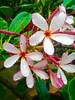 Rainproof (ape_regina) Tags: pink flowers thailand drops colorful asia frangipane plumeria monsoon