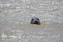 Grey Seal (Future-Echoes) Tags: eye water animal coast head seal essex 2012 greyseal waltononthenaze