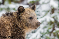 GB416 (Sam Parks Photography) Tags: autumn trees winter baby snow fall animal closeup forest rockies mammal cub woods nps snowy wildlife young large headshot valley yellowstonenationalpark rockymountains wyoming tight predator coy juvenile carnivorous reproduction offspring carnivore ynp biggame firstyear parkservice grizzlybear predatory reproduce silvertip gye omnivorous ursidae carnivora omnivore ursine ursusarctoshorribilis greateryellowstoneecosystem northamericanbrownbear cuboftheyear horizontalorientation springcub hyperphagia