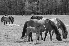 Wild Horses in black-and-white - Foal - 2016-003_Web (berni.radke) Tags: horse pony herd nordrheinwestfalen colt wildhorses foal fohlen croy herde dlmen feralhorses wildpferdebahn merfelderbruch merfeld przewalskipferd wildpferde dlmenerwildpferd equusferus dlmenerpferd dlmenpony herzogvoncroy wildhorsetrack