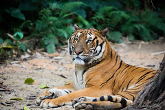 Just 3,500 are left in the wild (StgoDiaz) Tags: china beautiful animal zoo tiger safari lonely tigre indangerofextinction