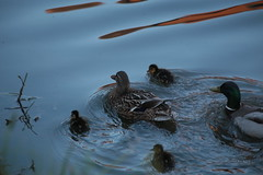 Making For Safety (Henry Hemming) Tags: family water reflections evening high colours young ducks iso direction chicks mallards