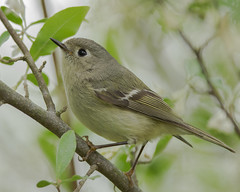 A Peaceful Kinglet (evilpigeon777) Tags: