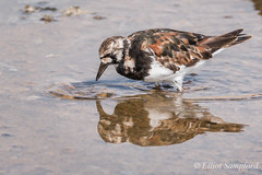 IMG_2206 (Elliot Sampford) Tags: birds spain wildlife turnstone lopagan