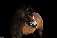 (suzcphotography) Tags: horse black canon 50mm mare edited background pony hunter equestrian equine t3i