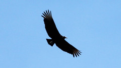 Big Bird (blazer8696) Tags: usa ny newyork black bird unitedstates bearmountain vulture 2016 ecw fortclinton img6856 t2016