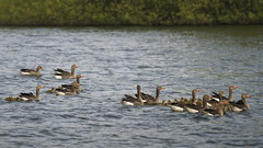 Gezinsuitbreiding (nikjanssen) Tags: geese kuikens grauweganzen