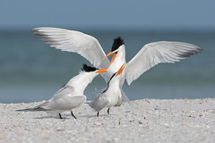 Jealousy (PeterBrannon) Tags: ocean bird beach nature florida wildlife royaltern mating tern jealousy courtship thalasseusmaximus largetern