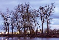 Heron Rookery - Mississippi River Nests (Tony Webster) Tags: heron minnesota us spring unitedstates minneapolis mississippiriver rookery gaf nests northminneapolis lowryavenue treenests