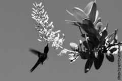 Beija-flor (1) (valdircodinhoto) Tags: parque brasil fauna go flor pssaro dos jorge ave cerrado alto nacional beijaflor so chapada veadeiros paraso gois voo colibri centrooeste