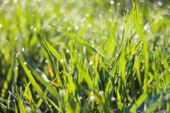 got up early ... (Basileia Gorgo) Tags: green nature grass canon deutschland 50mm spring waterdrop bokeh natur drop leipzig sachsen gras dslr wassertropfen tropfen niftyfifty grun fruhling eos550d