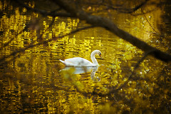 Swimming in Gold (Q Sawalha) Tags: lake berlin water fairytale swim reflections germany gold swan floating magical fennsee