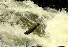 Steel Head Run (stevel2112@rocketmail.com) Tags: fish water river vermont waterfalls trout vt willoughby
