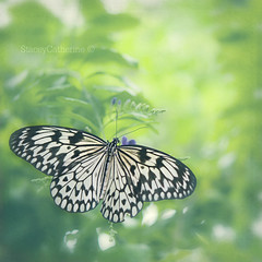 summer butterfly (stacey catherine) Tags: summer green nature butterfly insect soft pretty dreams dreamy