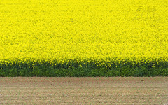 Rapeseed (Fil.ippo) Tags: abstract milan flower field yellow milano giallo fiore filippo rapeseed colza d7000 filippobianchi