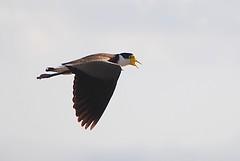 Masked Lapwing (Folly Photos) Tags: beach lapwing phillipisland plover seabirds