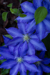 Little blues for tonight (Irina1010) Tags: flowers nature rain canon three droplets leaf spring ngc clematis