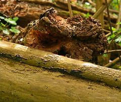 Apr 5: Fallen Tree Forest Texture (johan.pipet) Tags: wood detail tree texture canon spring log stem flickr greenwood jar trunk slovensko slovakia palo bratislava strom bartos dubravka kmen gorest barto