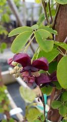 #365_grape_blossom (terri_bateman) Tags: flower grapes 365photo