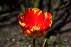 Rote Tulpe mit gelben Streifen - Red tulip with yellow stripes (riesebusch) Tags: berlin garten marzahn