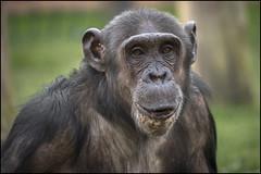 Twycross Chimp 7 (Darwinsgift) Tags: zoo nikon chimp d micro ape if chimpanzee af nikkor primate f4 warwickshire twycross 200mm d810