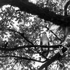 Heron of North Blvd 1 (Mabry Campbell) Tags: trees blackandwhite usa bird heron nature monochrome animal landscape photography photo texas photographer unitedstates image branches unitedstatesofamerica fineart houston photograph liveoak april 100 blueheron f28 squarecrop oaktrees fineartphotography 200mm 2016 northblvd commercialphotography harriscounty liveoaktrees southblvd westuniversity ef200mmf28liiusm intimatelandscape sec mabrycampbell april222016 20160422campbellh6a5379