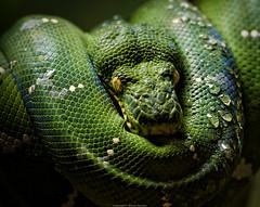 Emerald Tree Boa (Warren Parsons) Tags: ohio usa animals reptile snake toledo subjects emeraldtreeboa