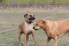 Taunt (brettswift) Tags: dog calgary enzo