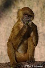 Pavian / Baboon (Doris & Michael S.) Tags: animals tiere baviaan pavian babuino babouin babbuino pawian