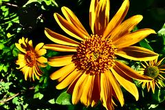 wild yellow (en_la_bici) Tags: river washington columbia sunflower summit gorge wildflower