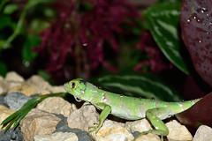 Iguana iguana (Juancho 507) Tags: naturaleza verde drops agua nikon outdoor gotas iguana panama joven reptil 2016 iguanaiguana chorrera d5500 dsc0409 juancho507 panamoeste