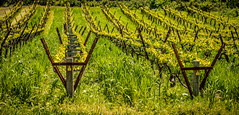 Vineyards in spring (tibchris) Tags: portrait green spring vines winery vineyards rows snapchris